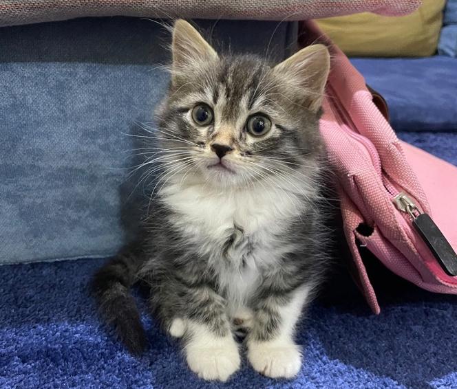 قطة ذكر اليف لعوب متعلم  20810