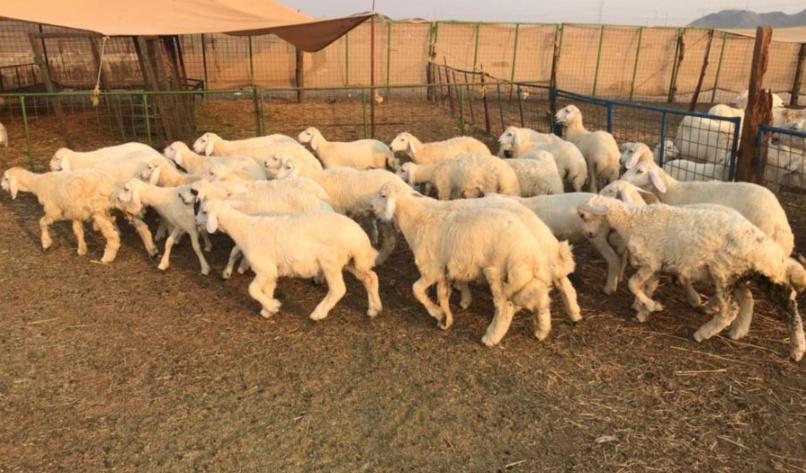 للبيع طليان ورخال عدد 30 في مكة 210