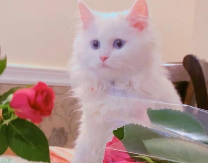 قطه شيرازي للبيع 2311