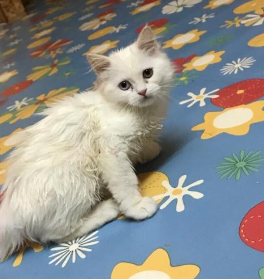 للبيع 2 قطط ذكور شيرازي أشقر وأبيض 24310