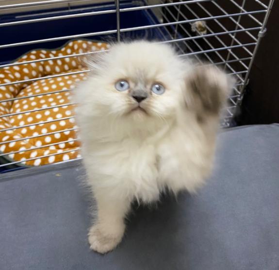 للبيع قطة أنثى سكوتش فولد في الرياض 26110