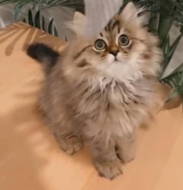 للبيع قط شيرازي كيتن الجنس أنثى في الرياض 26210
