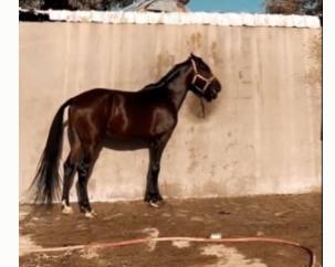 للبيع حصان شعبي واهو عمره من 4 إلى 5 27510