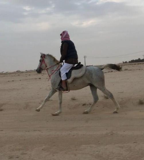 للبيع حصان شعبي عربي عمره من 4 إلى 5 أعوام 27710