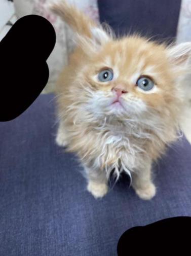 للبيع قطة شيرازية أنثى عمر شهرين 2810
