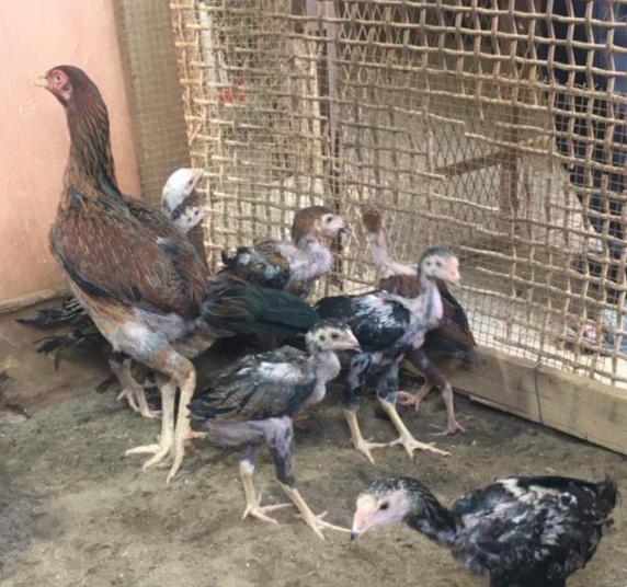 للبيع ديك ودجاجه باكستانيه 2811