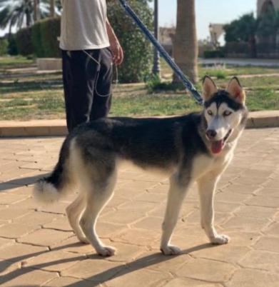 للبيع كلب هاسكي بيور من ام واب هاسكي 30510
