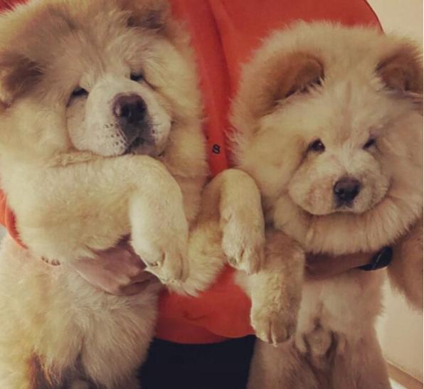 للبيع كلب تشاو تشاو في الرياض 30610