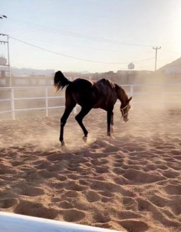 حصان شعبي للبيع 30910