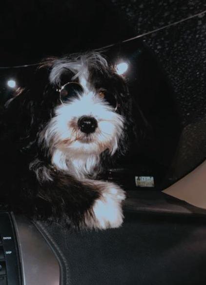 للبيع كلب مالتيز اسود وابيض 313