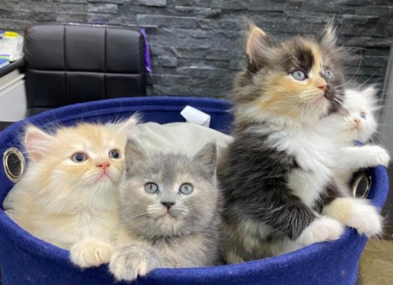 للبيع 4 قطط شيرازي مون فيس هاف بيكي 32010