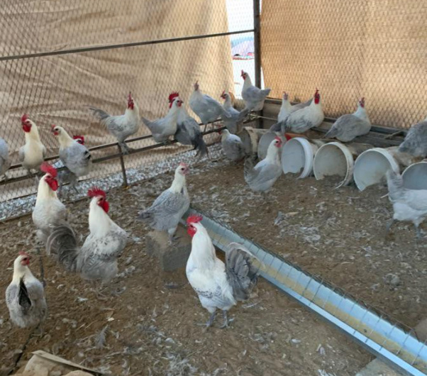 للبيع دجاج فيومي المنيوم في القصيم 32410