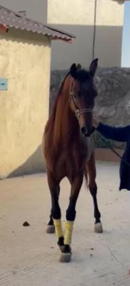 للبيع حصان واهو شيخ في ابها 33110