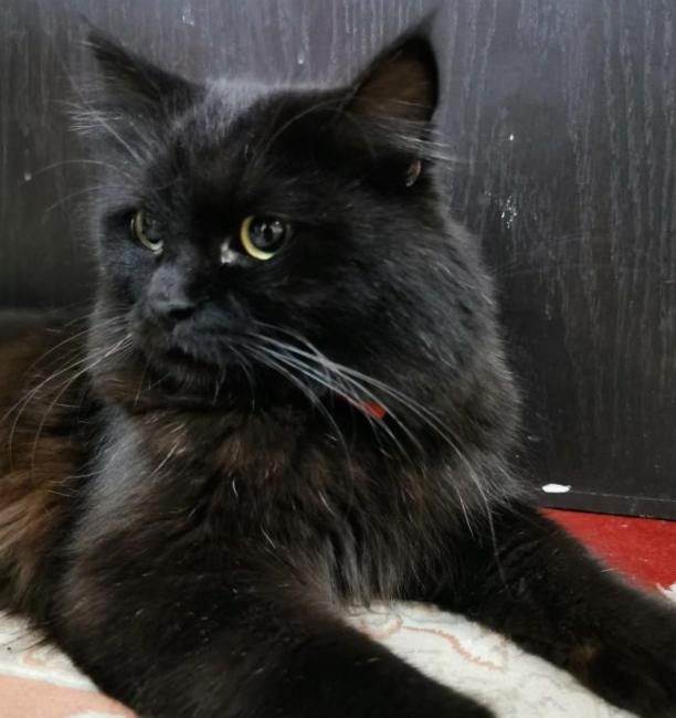 للبيع قطة شيرازي الجنس ذكر العمر 8 أشهر 34110