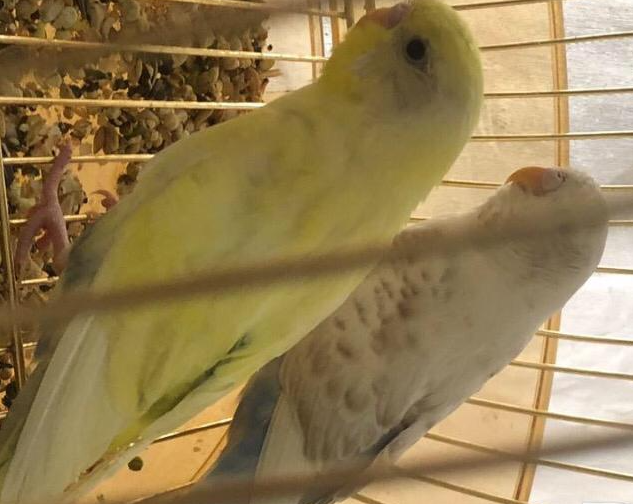 للبيع طيور بادجي غير معروف جنسهم 37110