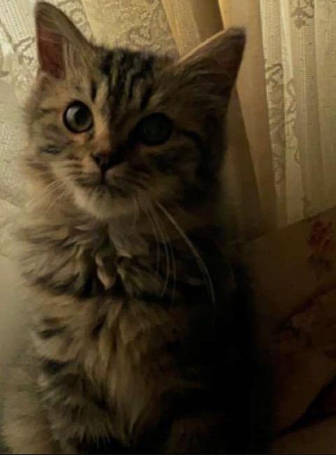 للبيع قط ذكر نوعه شيرازي عمره 5 أشهر 37610