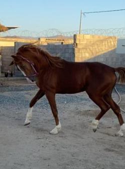 للبيع حصان شعبي عمره 6 سنوات 3911