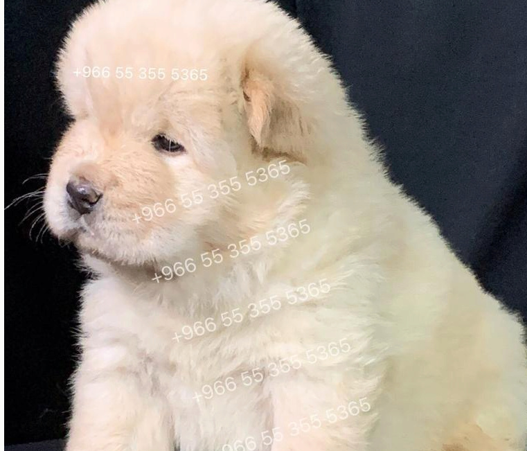 للبيع كلب ذكر تشاو تشاو في الرياض 39210