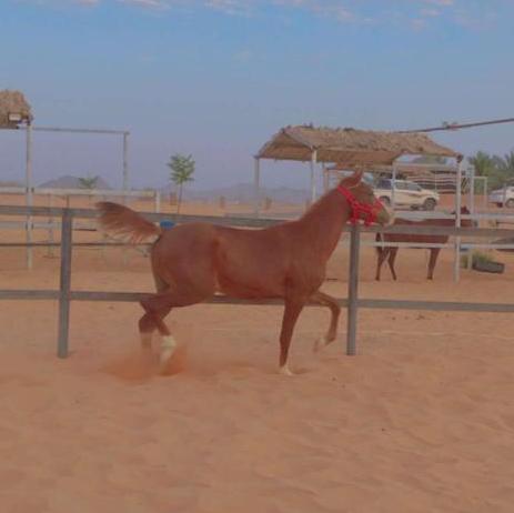 للبيع حصان شعبي شيخ الاسم جساس 39510