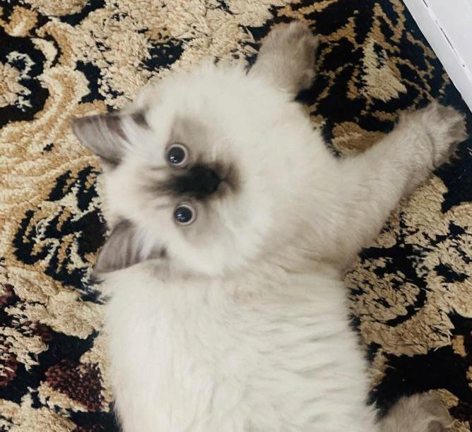 قطة انثى عمر 9 اشهر 41010