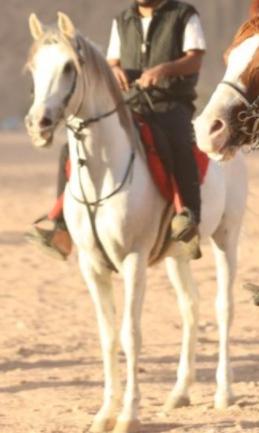 للبيع حصان عربي لونه أبيض 4110
