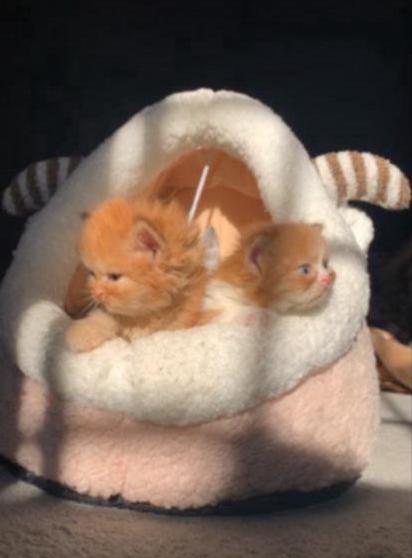للبيع قطط جميلة جداً  41110