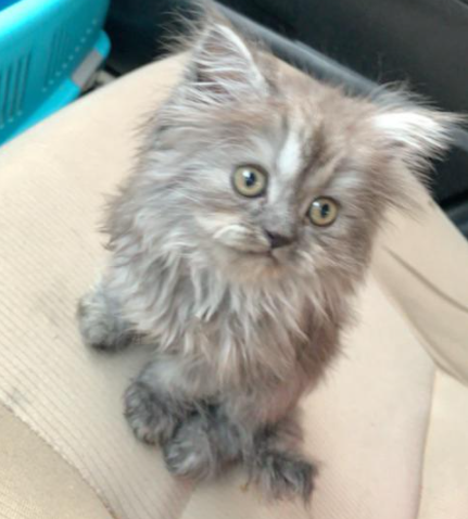 قطوه شيرازيه انثى عمرها 55 يوم 43210