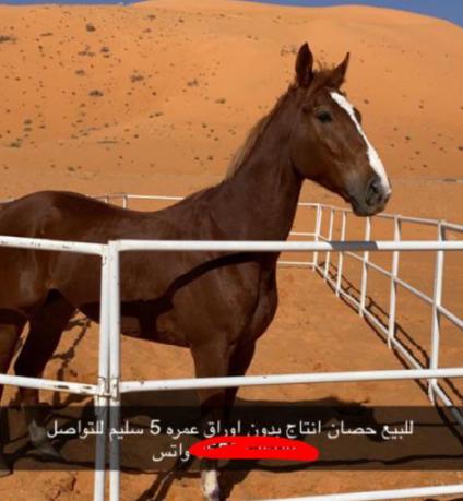 للبيع حصان معسوف و هادي عمره خمس سنوات 44610
