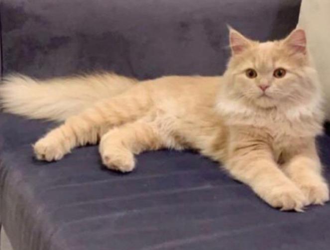 قطة أنثى للبيع النوع شيرازي 5011