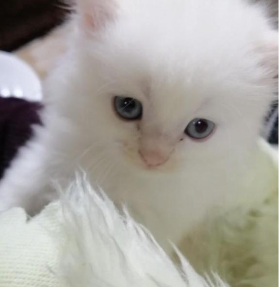 للبيع قطط صغيره عمرها شهر ونصف 5111