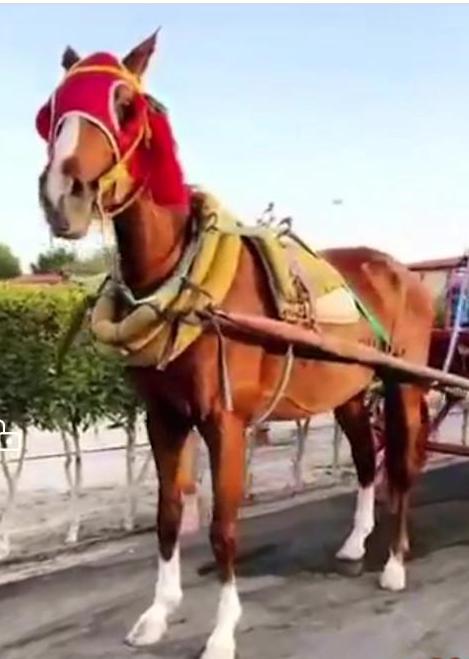 للبيع حصان شعبي سرج في الشرقية 52910