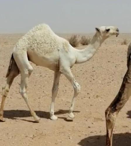 مفرود صاهودي عندي ابوه وامه للبيع 7611