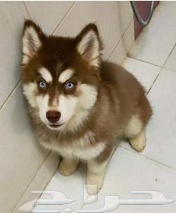 كلب هاسكي للبيع 810