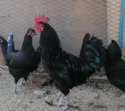 للبيع دجاج بلدي بياض  8211