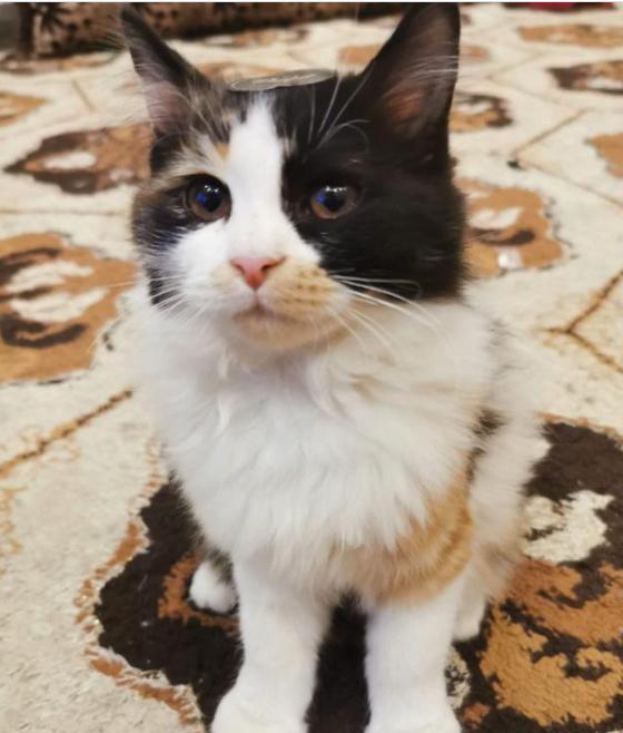 قطة شيرازيه عمرها 4 أشهر للبيع 8510