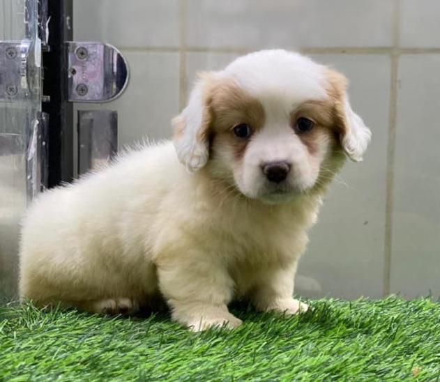 للبيع كلب فرنسي مالتيز 913