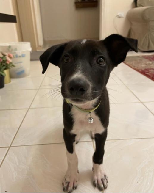 كلب بيت جرو مهجن للبيع 9310