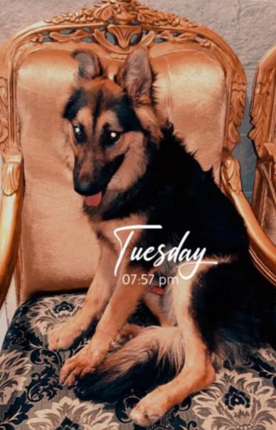 للبيع كلب جيرمين شيبرد أليف ولعوب 9510