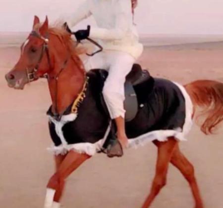 للبيع حصان عربي اصيل 9710