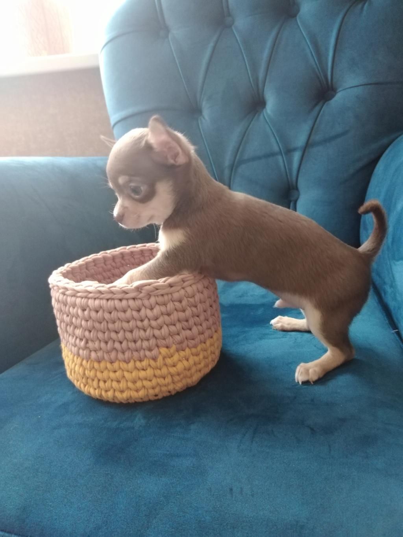 Идентификация собаки -чихуа или нет? - Страница 27 Img_2019