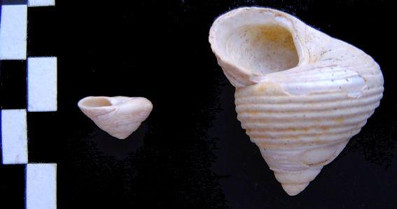 [résolu]Monodonta amedei turonensis Monodo10
