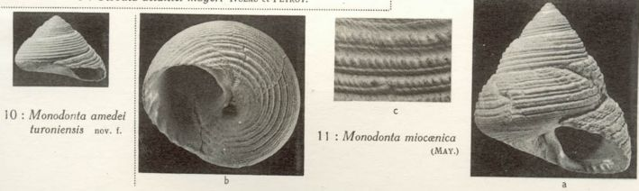 [résolu]Monodonta amedei turonensis Monodo11