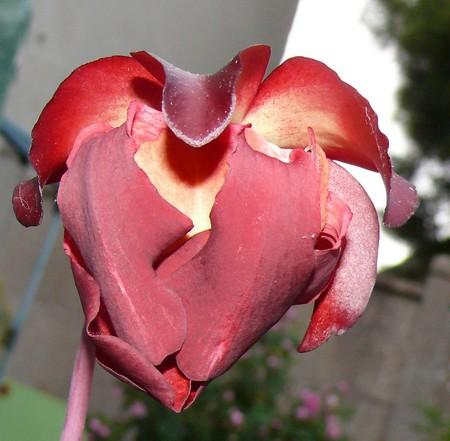 Plante carnivore Fleur_11