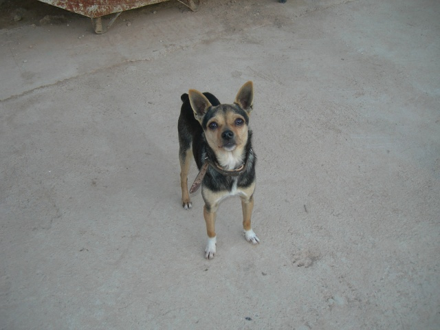 [ADOPTE]TANY , croisee chihuahua 18 mois Tany10