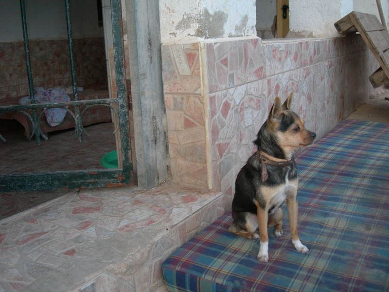 [ADOPTE]TANY , croisee chihuahua 18 mois Tany210