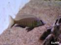 cichlidès du malawi (éric) Nyassa10