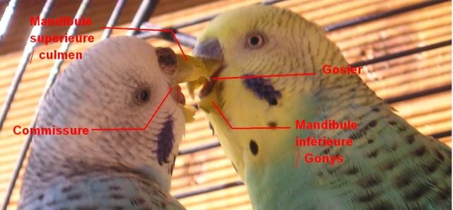Anatomie d'une Perruche Blbala10