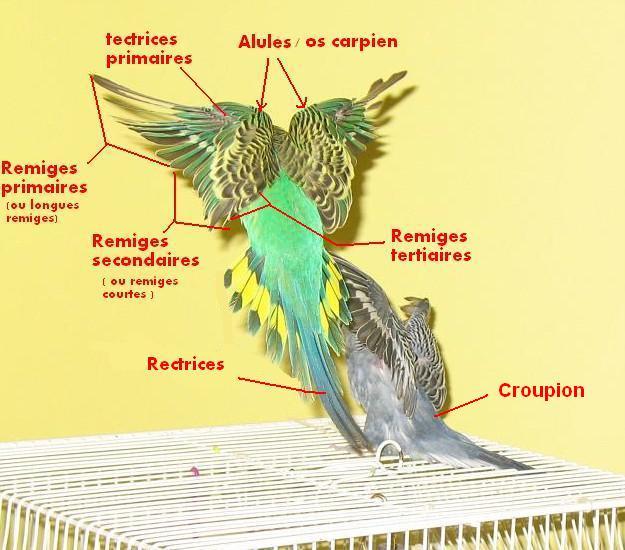 Anatomie d'une Perruche Verdi_10