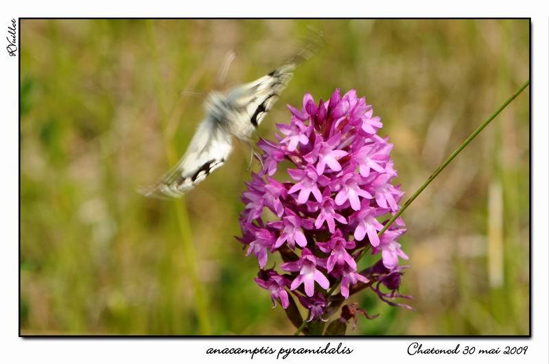 orchidees et papillons 09-05-10