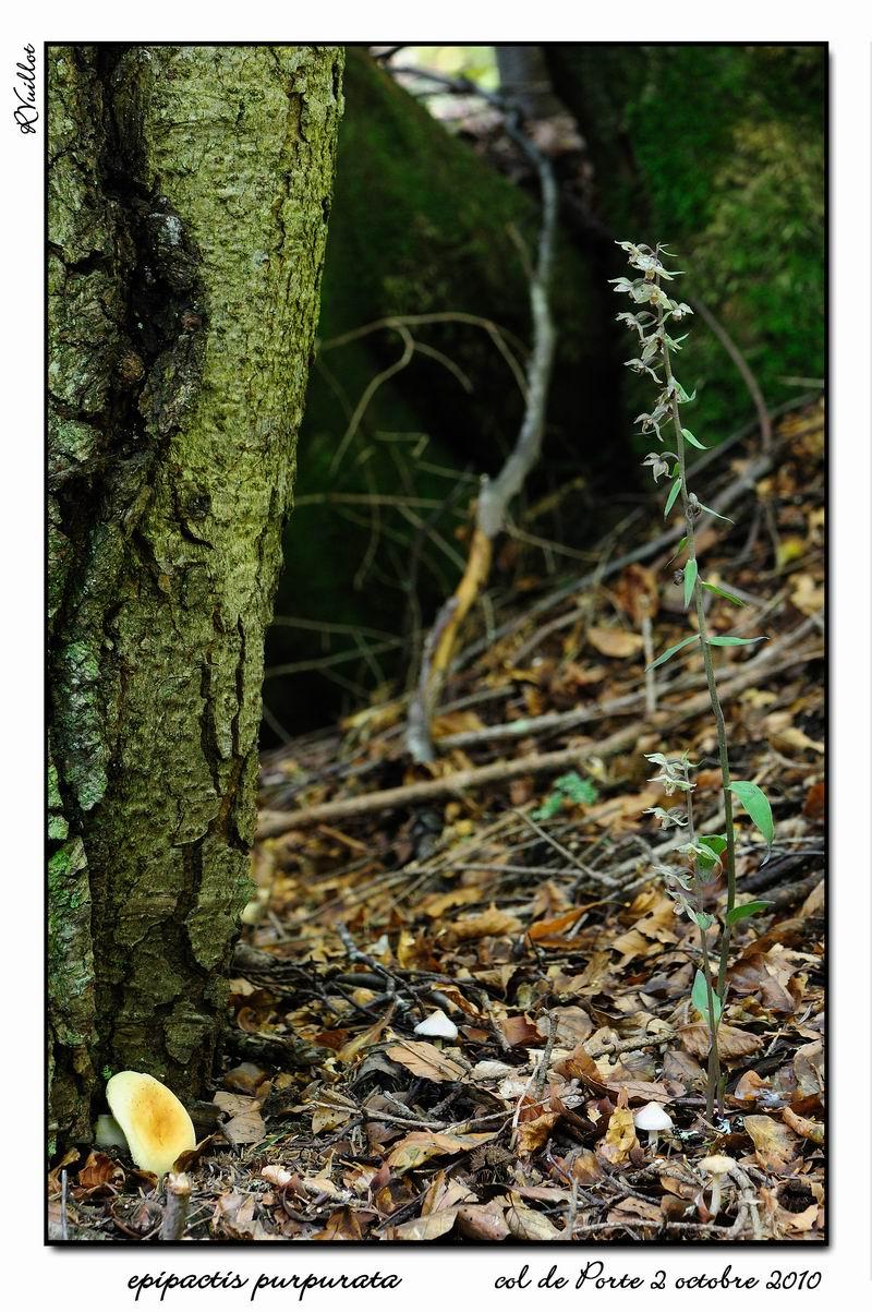 Epipactis purpurata ( Epipactis violacé ) 10-10-12